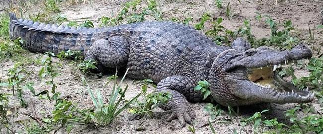 Cá sấu nước ngọt là động vật đặc hữu của hòn đảo bí ẩn New Guinea.
