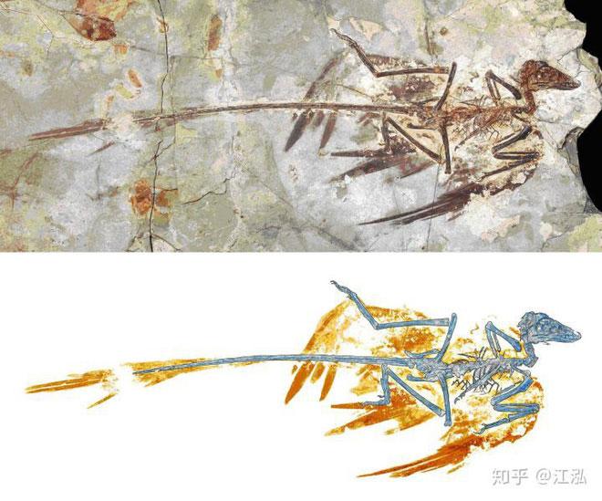 Hóa thạch Microraptor được bảo tồn trong Bảo tàng Tự nhiên Bắc Kinh.