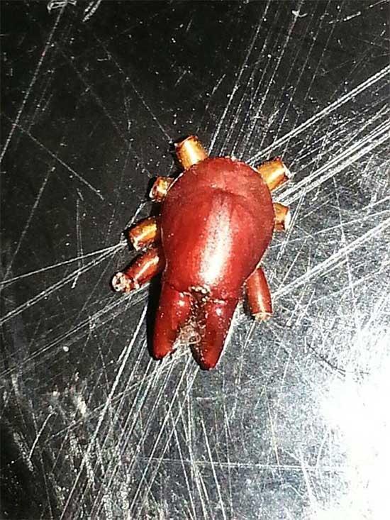 Đây là Dysdera crocata, một loại nhện ăn gỗ.