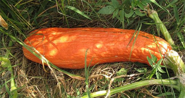 Hạt giống bí ngô có tuổi đời 800 năm cho ra kết quả là bí đỏ dạng dài.
