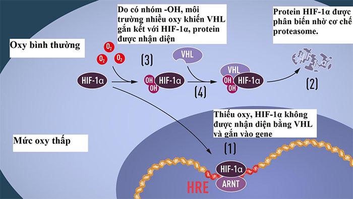 Phác họa cho thấy (1) HIF-1α ko bị phân biến, liên kết với protein ARNT gắn vào đoạn ADN trên gene phản ứng với tình trạng oxy thấp