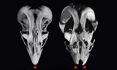 Nhóm nhà khoa học biến đổi phôi thai gà, tạo ra hộp sọ lai gà - khủng long (phải).