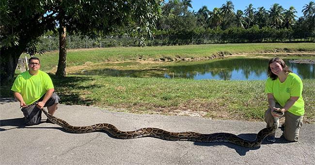 Con trăn cái bị bắt có kích thước lớn thứ hai ở bang Florida.