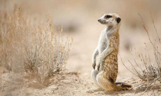 Những con Meerkat đứng bằng đuôi.