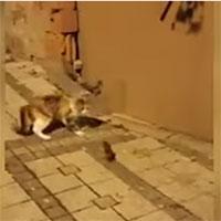 Chuột phản đòn khiến mèo hoảng sợ thối lui