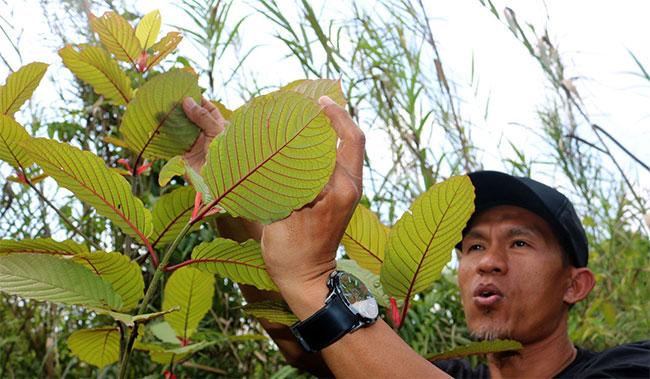 Anh nông dân trồng cây Kratom ở Indonesia, Gusti Mitchu.