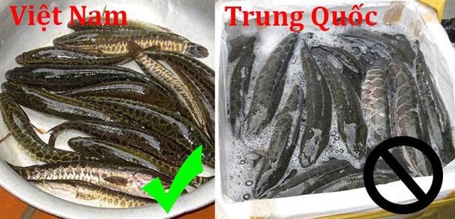 Phân biệt cá lóc Việt Nam và cá chuối Trung Quốc