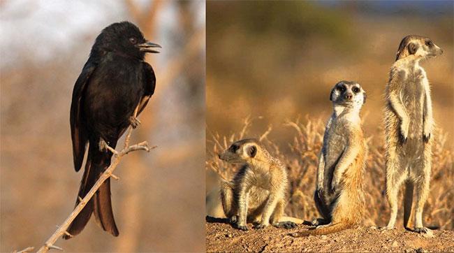 Chim Drongo là một trong những kẻ lừa bịp tài tình nhất thế giới động vật