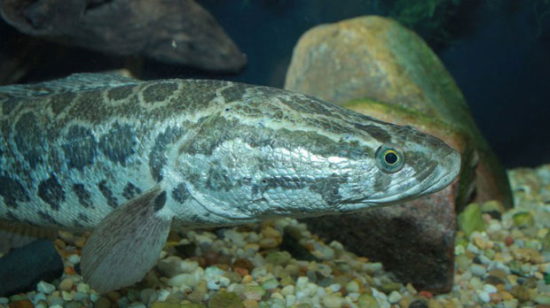 Cá đầu rắn là loài bản địa của châu Á