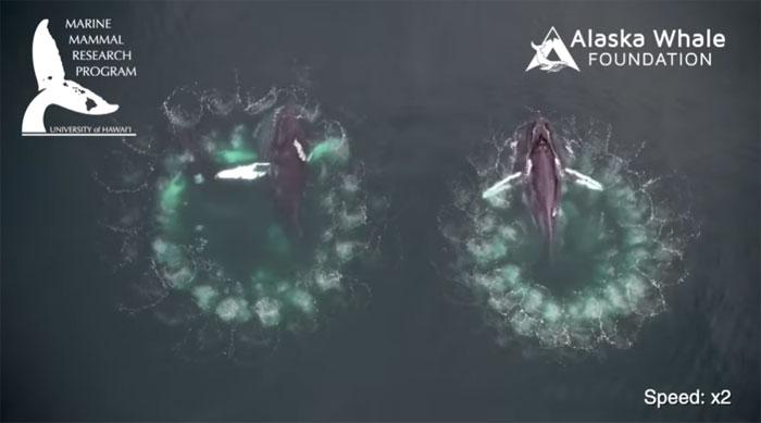 Cá voi lưng gù thường di cư tới Alaska vào mùa hè hàng năm để kiếm ăn.