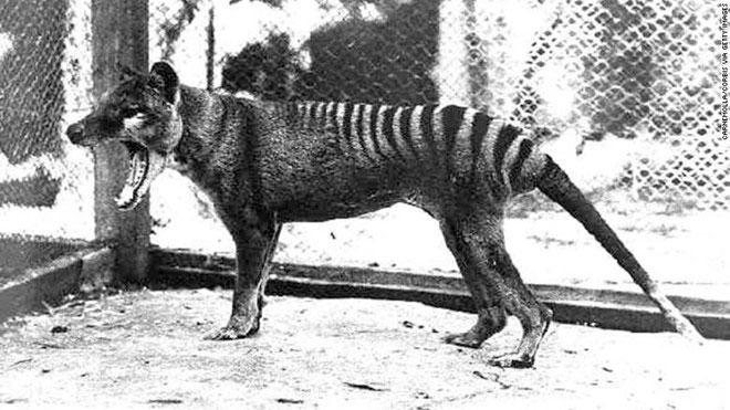 Con hổ Tasmania cuối cùng bị nuôi nhốt và chết trong sở thú Hobart vào ngày 7/9/1936.