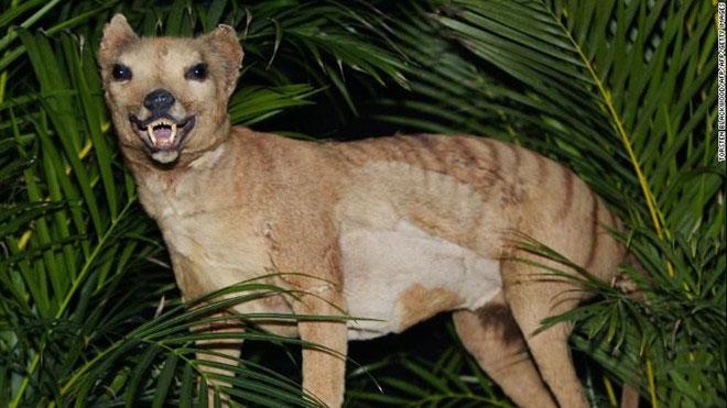 Hổ Tasmania bị tuyệt chủng năm 1936 được trưng bày tại Bảo tàng Australia năm 2002.
