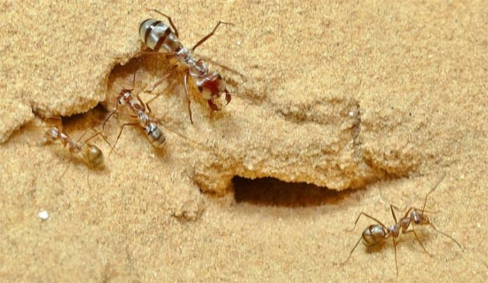Tốc độ chạy nhanh giúp kiến bạc sống sót trên sa mạc.