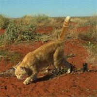 Xác kangaroo bị mèo ăn đến trơ xương