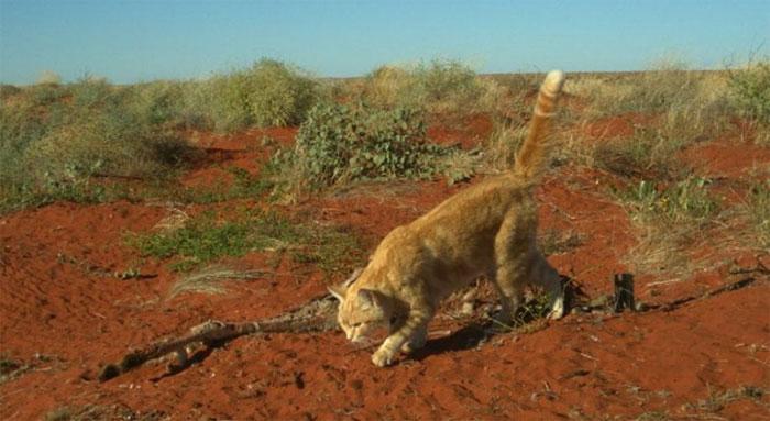 Con mèo miệt mài ăn xác kangaroo suốt nhiều ngày.