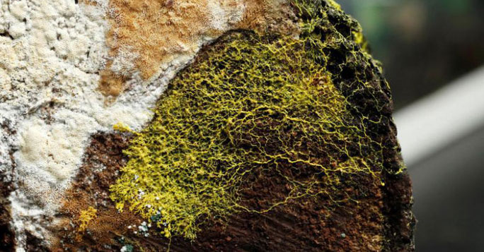 Blob có khả năng học tập của động vật và có gần 720 giới tính.