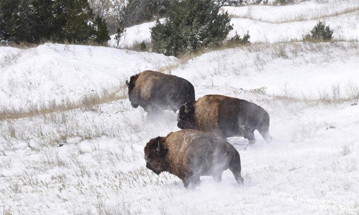 """Bò bison tái xuất tại """"vùng đất tổ tiên"""" sau hơn 140 năm."""