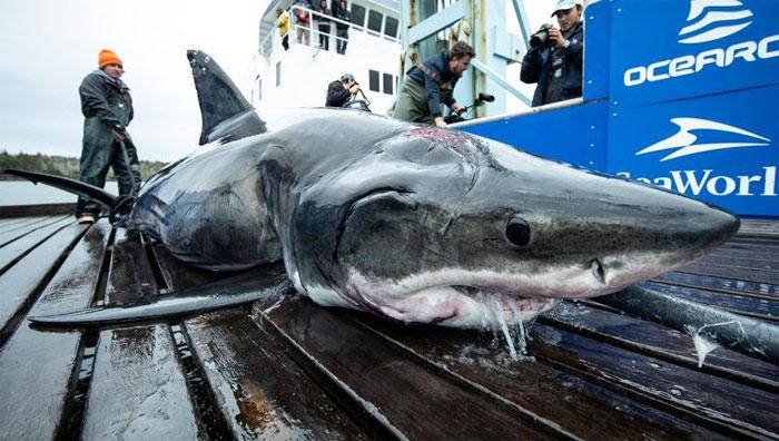 Cá mập Vimy và vết thương ở đầu.