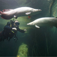 Phát hiện loài cá vùng Amazon có vảy chống lại được răng cá ăn thịt Piranha