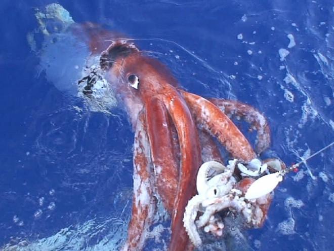 Mực khổng lồ thực sự là một sát thủ của biển sâu