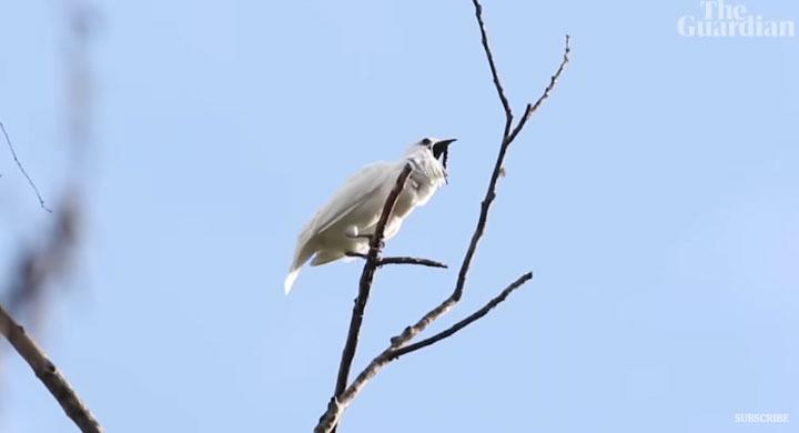 Chim chuông trắng.