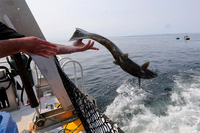Một con cá hồi Chinook được thả về đại dương