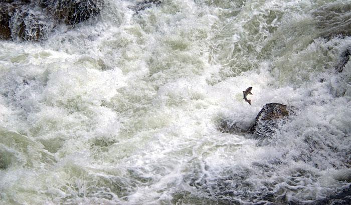 Một con cá hồi Chinook vượt thác Dagger, Idaho (Mỹ)