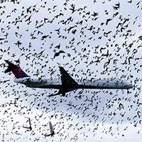 Vì sao máy bay sợ nhất va phải chim?