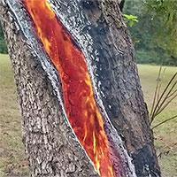 Lý giải hiện tượng cây gỗ rực cháy từ trong ra ngoài: Là sét đánh hay còn nguyên nhân nào nữa?