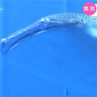 Phát hiện 1.000 sinh vật sống trong miệng cá mập voi tại Nhật Bản