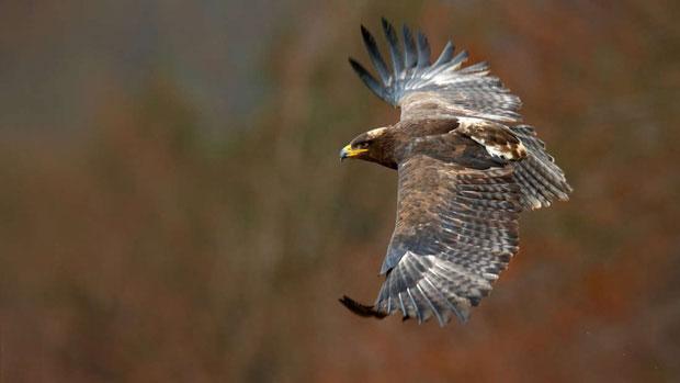 Các nhà khoa học Nga gần đây có nhiệm vụ quan sát quá trình di cư của loài đại bàng thảo nguyên.