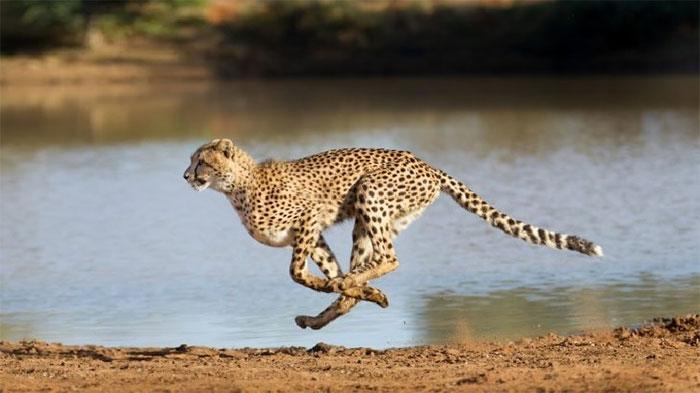 Giá một con báo đốm Cheetah.