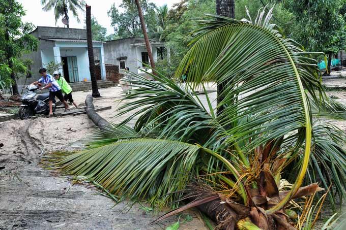 Một cây dừa tại thôn 1, xã Xuân Hải, thị xã Sông Cầu, Phú Yên bị gió quật ngã trên đường vào trung tâm xã.