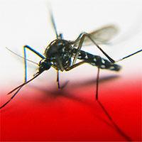 """Cấy gene """"tử thần"""" để tiêu diệt loài muỗi"""