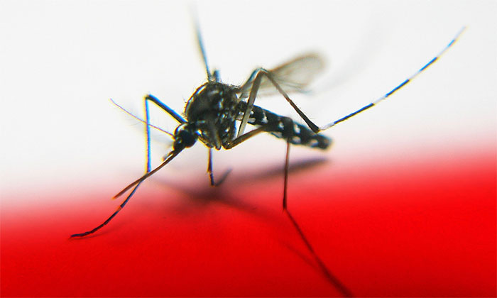 Muỗi Aedes Aegypti