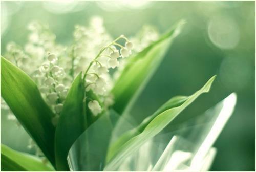 Hoa linh lan chuông