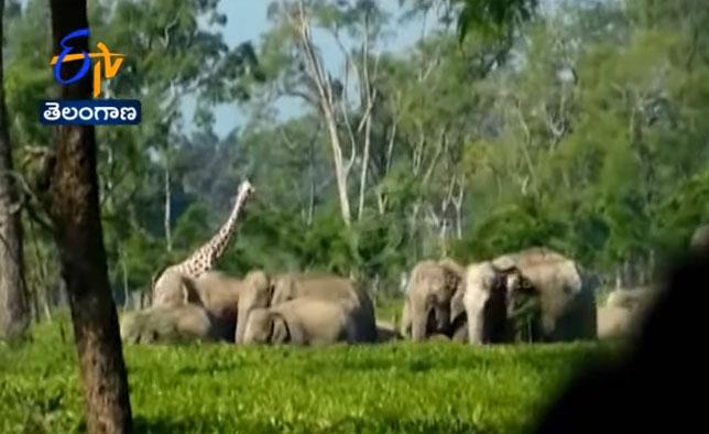 Đàn voi 20-25 con tiến về phía đồn điền trà đã chuyển hướng sau khi thấy hươu cao cổ giả.
