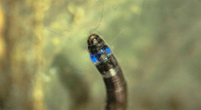 Hình ảnh loài ấu trùng kì lạ có khả năng phát sáng xanh.