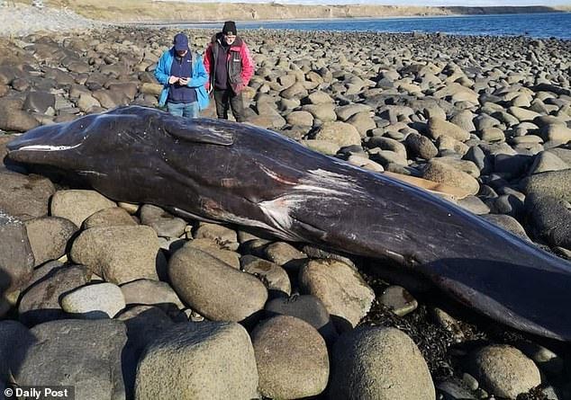 Con cá nhà táng vừa phát hiện bị chết và trôi dạt một bãi biển ở xứ Wales, Anh.