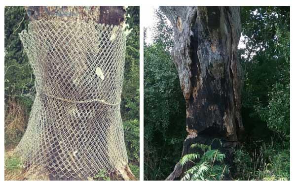 Chính quyền thị trấn Bernards dựng hàng rào để bảo vệ cây quỷ khỏi sự tấn công và phá hoại của con người.