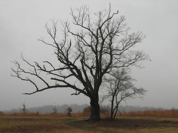 Cây sồi hơn 200 năm tuổi với lời nguyền chết chóc.