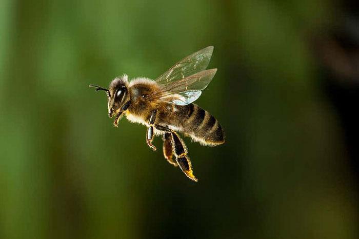 Thông qua các chuyến bay, côn trùng có thể làm nóng cơ thể giữa thời tiết giá lạnh.
