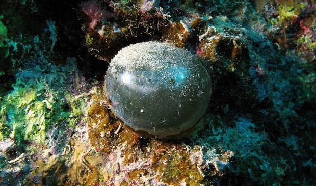 Loài tảo này có kích cỡ không cố định, có thể nhỏ bằng quả bóng bàn, cũng có thể to hơn thế.