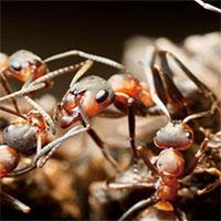 """Khó tin nhưng có thật: Loài kiến chuyên """"bắt cóc trẻ em"""" để sinh tồn"""