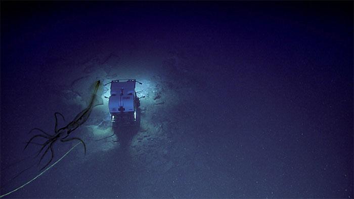 Con mực áp sát phương tiện Deep Discoverer trong bóng tối đại dương.