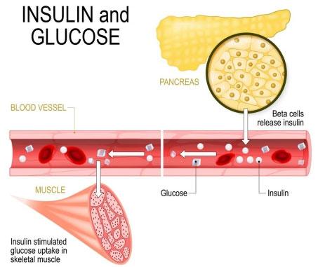 Insulin là một hormone giúp kiểm soát mức độ đường trong máu.