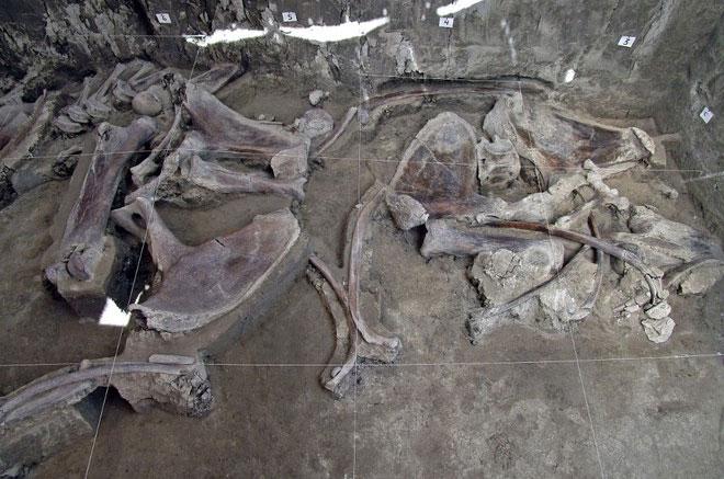 Các nhà khảo cổ phát hiện được xương của ít nhất 14 cá thể voi ma mút và nhiều loại động vật khác trong 2 hố bẫy.