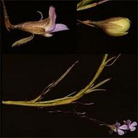 Nhà thực vật tìm thấy cây hoa tuyệt chủng 200 năm