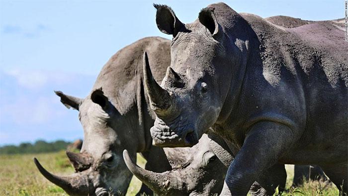Nhiều người tin rằng sừng tê giác có thể chữa được nhiều loại bệnh, đặc biệt là ung thư