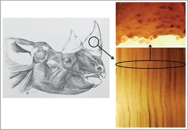 Sừng tê giác giả được chế tạo từ lông ngựa